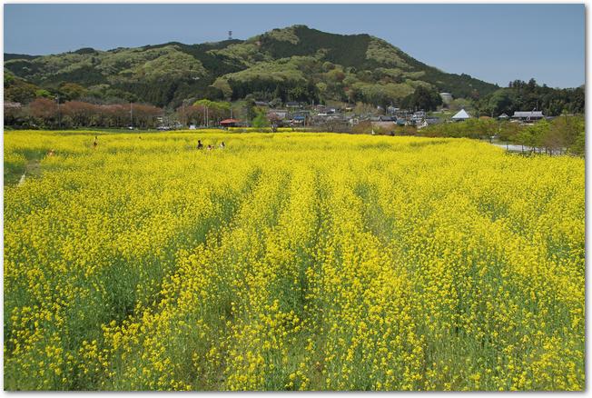 日和田山と麓に広がる菜の花畑