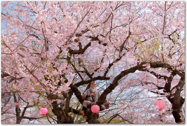 烏帽子山公園のぼんぼりの下がった満開の桜の木の様子
