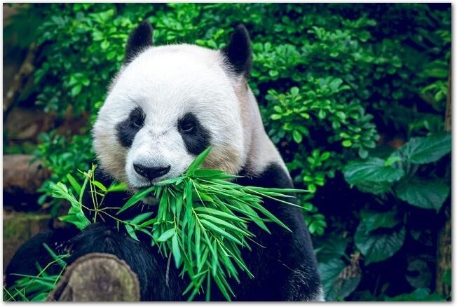 パンダの名前は?中国語では?なぜ二文字なの?歴代の名前は?